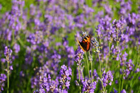Most Fragrant Lavender Plant 5 Best Fragrant Flowers You Should Add To Your Garden Wide Open