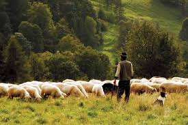 Good Shepherd And His Sheep
