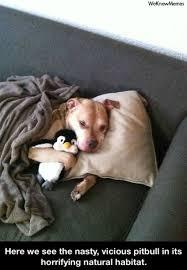 Pitbull Meme - here we see the vicious pitbull in its natural habitat weknowmemes