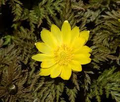 adonis plants spring flowers with vernalis amur