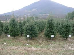 christmas tree tips north carolina cooperative extension