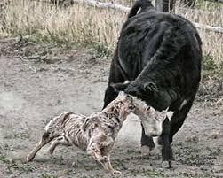 australian shepherd cattle dog 87 best working cow dogs images on pinterest cattle dogs