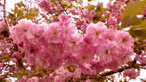 cherry blossom tree free stock photo public domain pictures