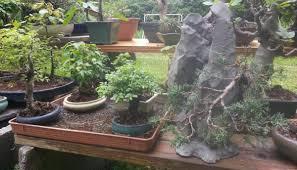 bonsai saule pleureur coupelle sous le pot trucs et techniques forums parlons bonsai