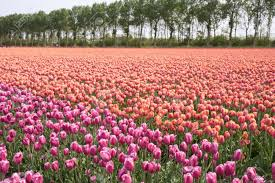 beautiful purple and pink tulip fields in the netherlands stock