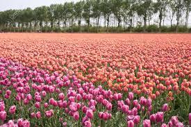 Netherlands Tulip Fields Beautiful Purple And Pink Tulip Fields In The Netherlands Stock
