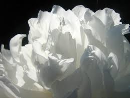 white flower free photo peony flower white summer free image on pixabay