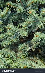christmas tree branches closeup background pine stock photo