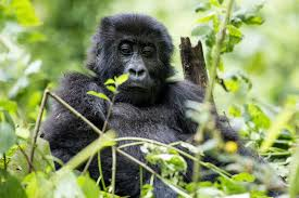 come back some gorillas at this park see foreign tourists and run