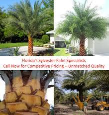 sylvester palm tree price sylvester date palm plantant