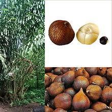 Snake Fruit Tree - snake fruit wiktionary