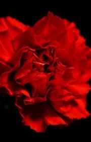 Red Carnations Red Carnations Yandere X Reader Microwaveness Wattpad