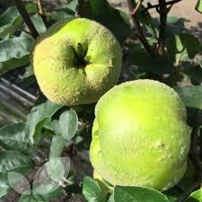 dwarf quince leskovacz fruit trees for sale patio fruits
