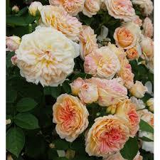 gloire de dijon climbing rose groves nurseries