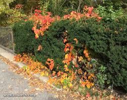 poison ivy revealed fall poison ivy poison oak poison