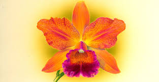 orchid pictures advice for beginners on growing orchids as houseplants