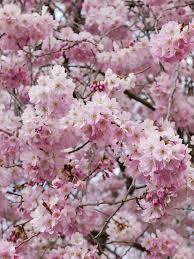 blossom trees irinahp irinahp blog most instagrammable blossom trees in vienna