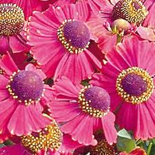 fall blooming flowers fall blooming flower shower helenium home pinterest flower