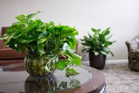 Indoor Plant Design by Interior Exciting Pothos Plant On Fireplace Mantle For Interior