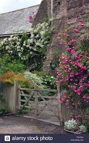 climbing roses and stone buildings in devon uk stock photo