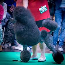 crufts bichon frise 2014 admin author at the lady and the tramp grooming salon and spathe
