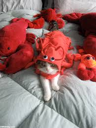 Lobster Costume Omgkitty Cat In A Lobster Costume The Party Continues