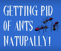 Ants In The Bathroom by How To Get Rid Of Tiny Black Ants In The House