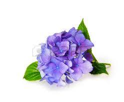 Purple Hydrangea Purple Hydrangea Stock Photos Royalty Free Purple Hydrangea