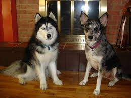 australian shepherd malamute mix what u0027s your favourite preferred type of dog dogs