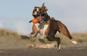 boxer dog jokes 16 lovable bully dog breeds that you should get before you die