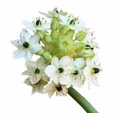 of bethlehem flower of bethlehem white flower