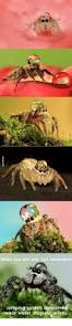 giant jumping spider spirit halloween jumping spider memes spider free download funny memes