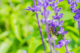 Salvia Flower Honey Bee On Purple Salvia Flower With Nature Background Stock
