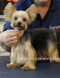 how to cut a yorkie poo s hair 40 best rosie hair cuts images on pinterest yorkie haircuts