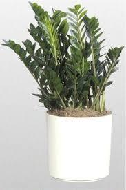house plants no light zz plant plants for living room pinterest plants bonsai and
