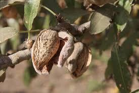 what almonds look like on tree u0026 on farm jp loves cotton