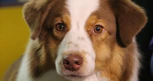 westminster australian shepherd 2014 red sox catcher u0027s prize winning dog competes at westminster bdcwire