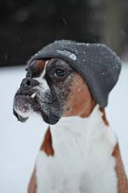 boxer dog training tips click visit site and check out best