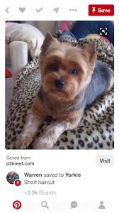 yorkie haircuts pictures only pin by robin woods on bella pinterest yorkies dog and yorkshire