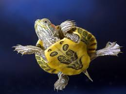 Ringed Map Turtle Turtle With Yellow Belly Turtles Pinterest Turtle Animal