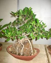 bonsai materials chennai u2013 rajendran rr nursery bonsaifarms blog