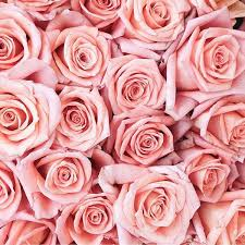 pink and roses best 25 pink roses ideas on 重庆幸运农场倍投方案 www