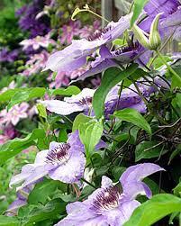 how to grow clematis gardener u0027s supply