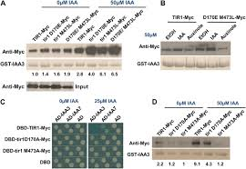mutations in the tir1 auxin receptor that increase affinity for