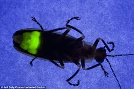 How Do Fireflies Light Up Chemists Reveal How Fireflies Got Their Glow Daily Mail Online