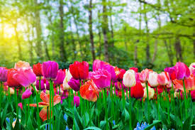 colorful tulip flowers in the park nature photos creative market
