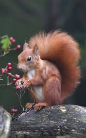 come on you reds how the british red squirrel is fighting back