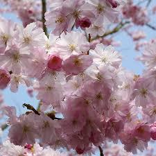 prunus accolade ornamental cherry tree shrub majestic trees