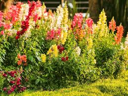 snapdragon flowers here s how to grow your own bouquet with a cut flower garden