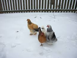can chickens go out in snow backyard chickens